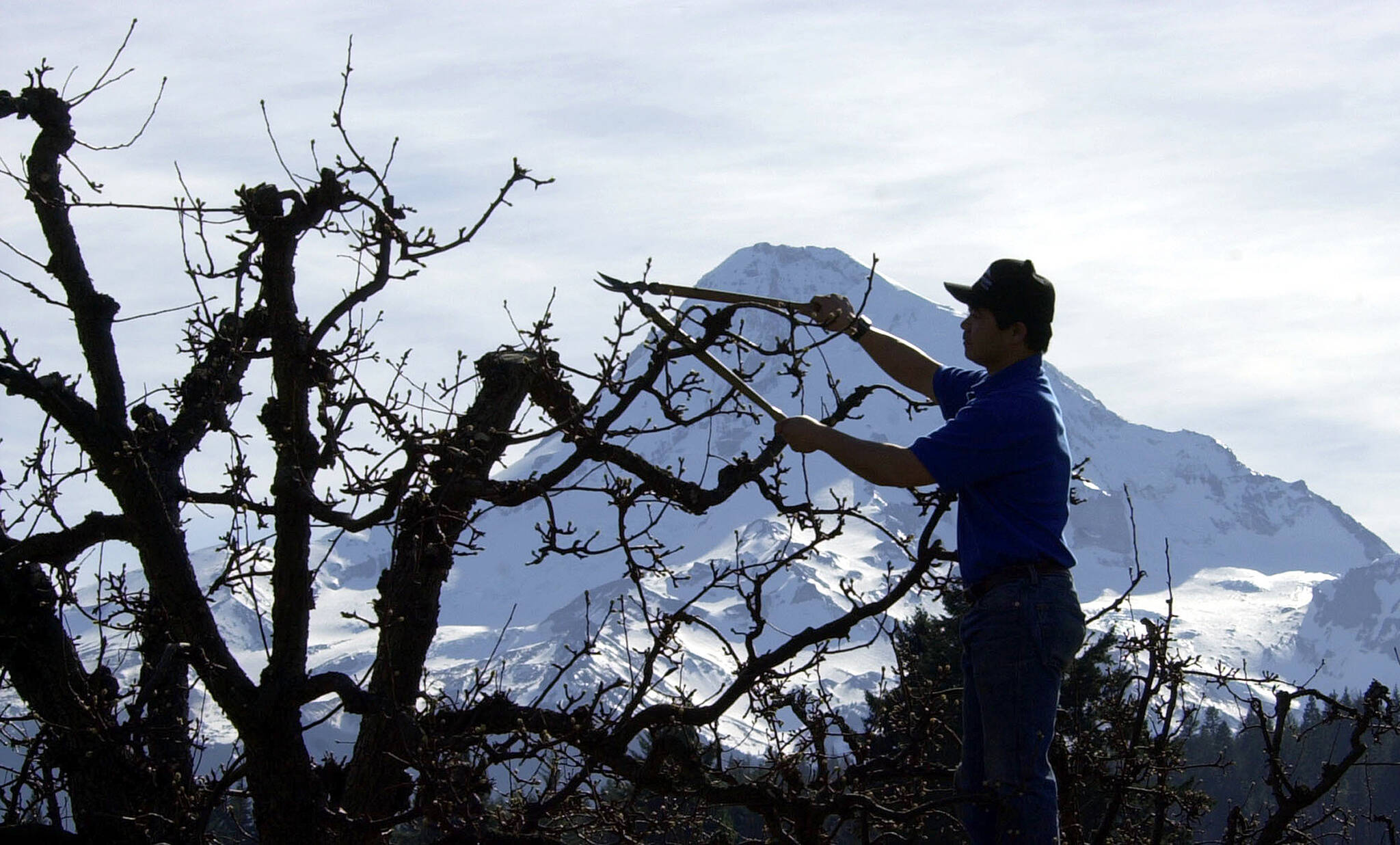 """Pruning fruit trees is one of the jobs where temporary foreign workers may be used. B.C. moves to a minimum working age of 16 as of Oct. 15, with exeptions for """"light work"""" on farms such as hand harvesting. (AP Photo/Don Ryan)"""