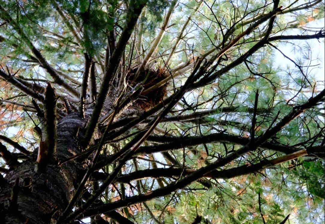 A heron nest in a white pine on golf course land, barely visible from the ground, taken with a telephoto lens on Oct. 12. Photo: Bill Metcalfe