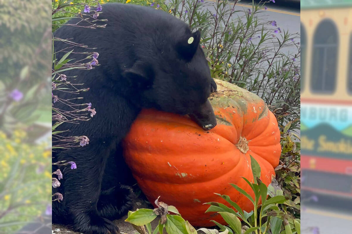 Bears can come onto people's yards and their patios for pumpkin and candies, like this bear in Gatlinburg, Tennessee, who just went for the pumpkin. (Christy Mabe/Special to The News)