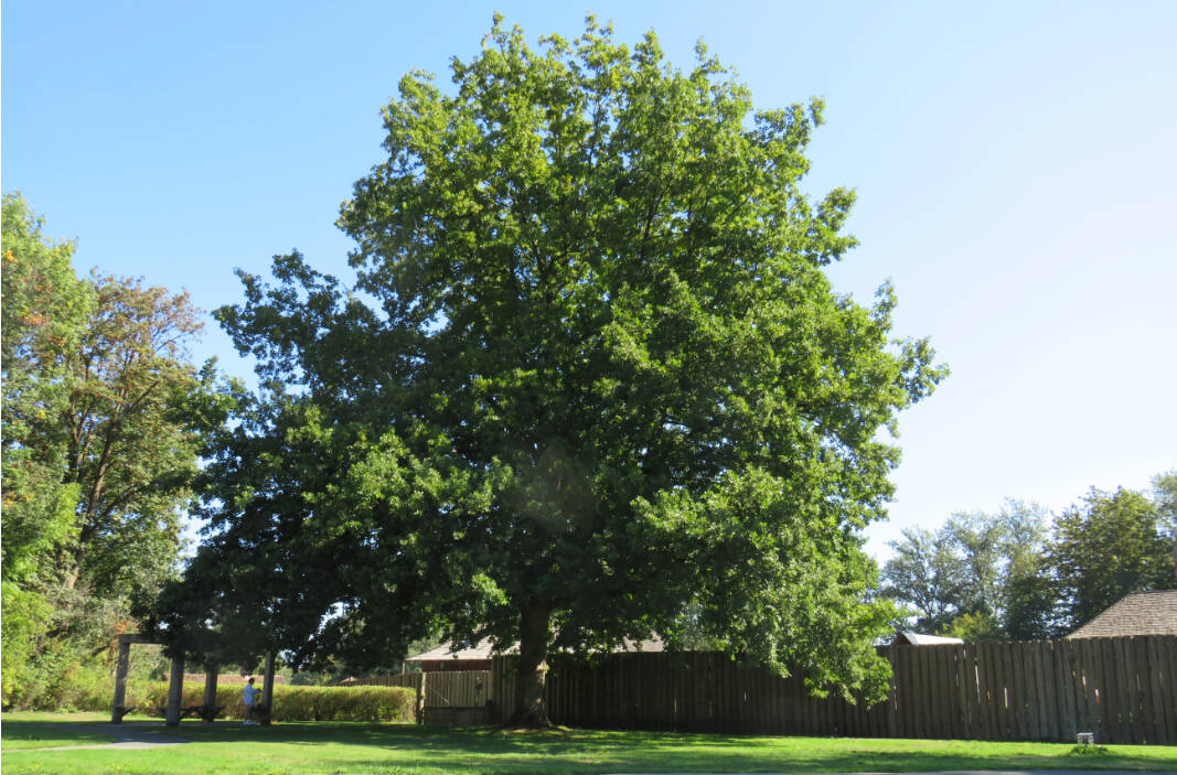 Marilyn Crosby admires a mighty royal oak tree that stands next to the palisades of the Fort Langley National Historic Site. The tree, according to Crosby, was planted in 1953. (Special to Langley Advance Times)