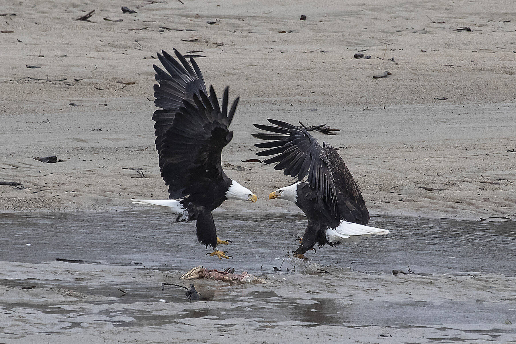 Though the Fraser Valley Bald Eagle Festival is gone, the Season of the Wild hosted by Tourism Harrison River Valley aims to act as its spiritual successor and build on the legacy of wildlife awareness and conservation. (Bob Friesen File Photo)