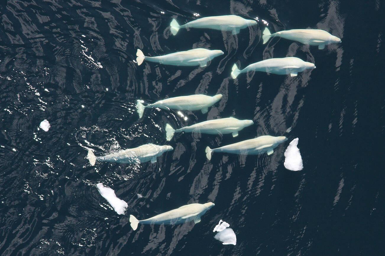 A pod of beluga whales. (NOAA/NMFS/National Marine Mammal Laboratory photo)