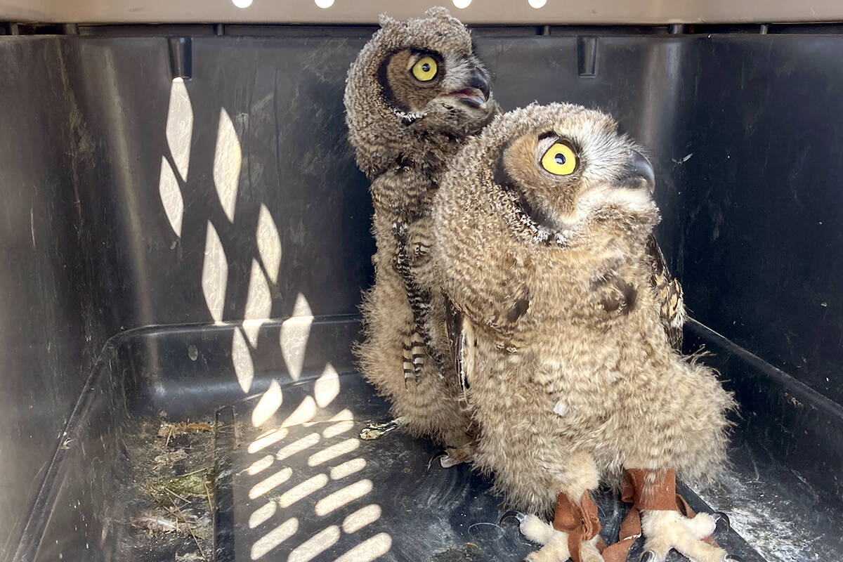 A pair of Great Horn owlets pose majestically on their way to a rehabilitation centre outside the Boundary. Photo: Submitted