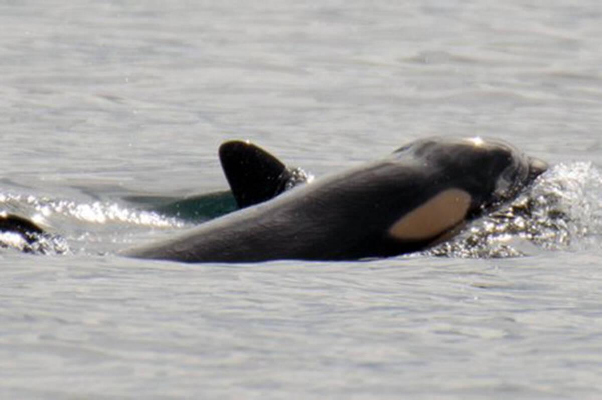 A J Pod calf, born Sept. 24, 2020 surfaces next to mother J41. (Talia Goodyear/Orca Spirit Adventures/Pacific Whale Watch Association)